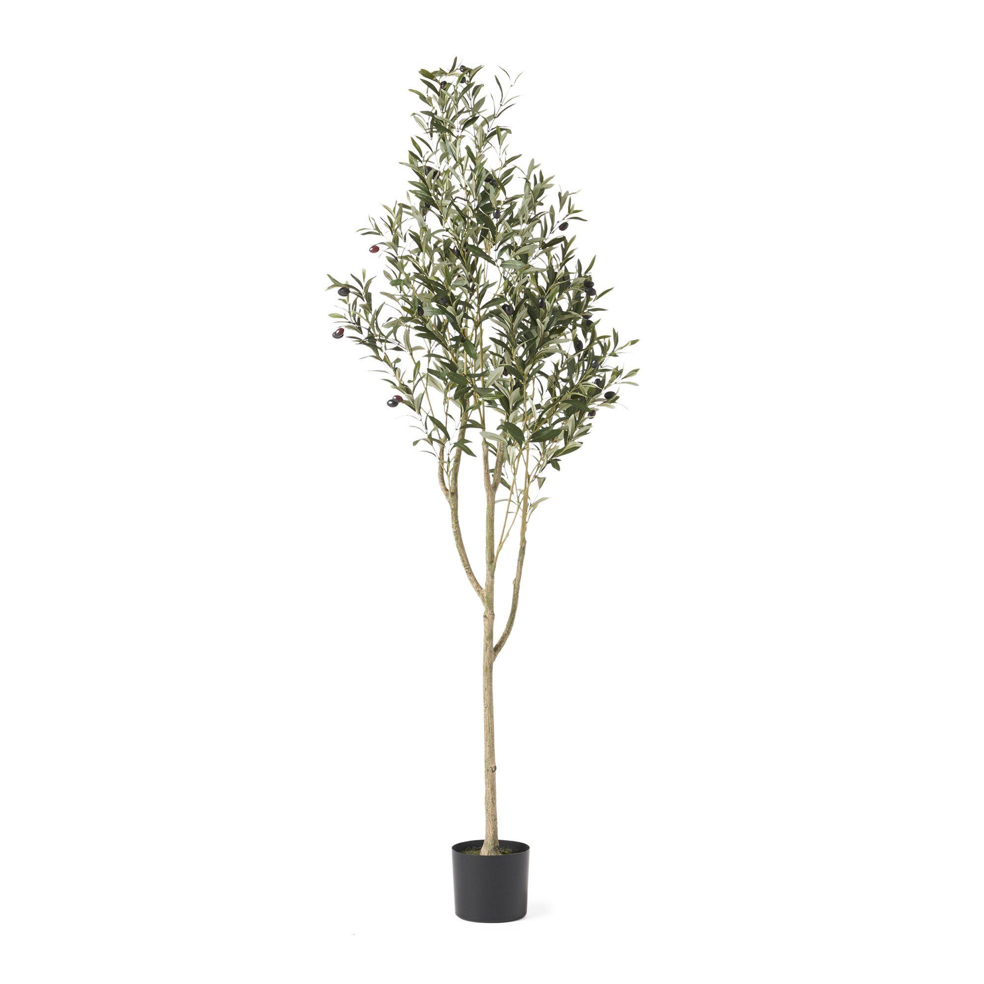 Dwarf Olive Tree Home Depot