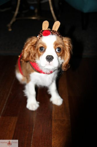 Wilbur the Puppy dressed up like a reindeer