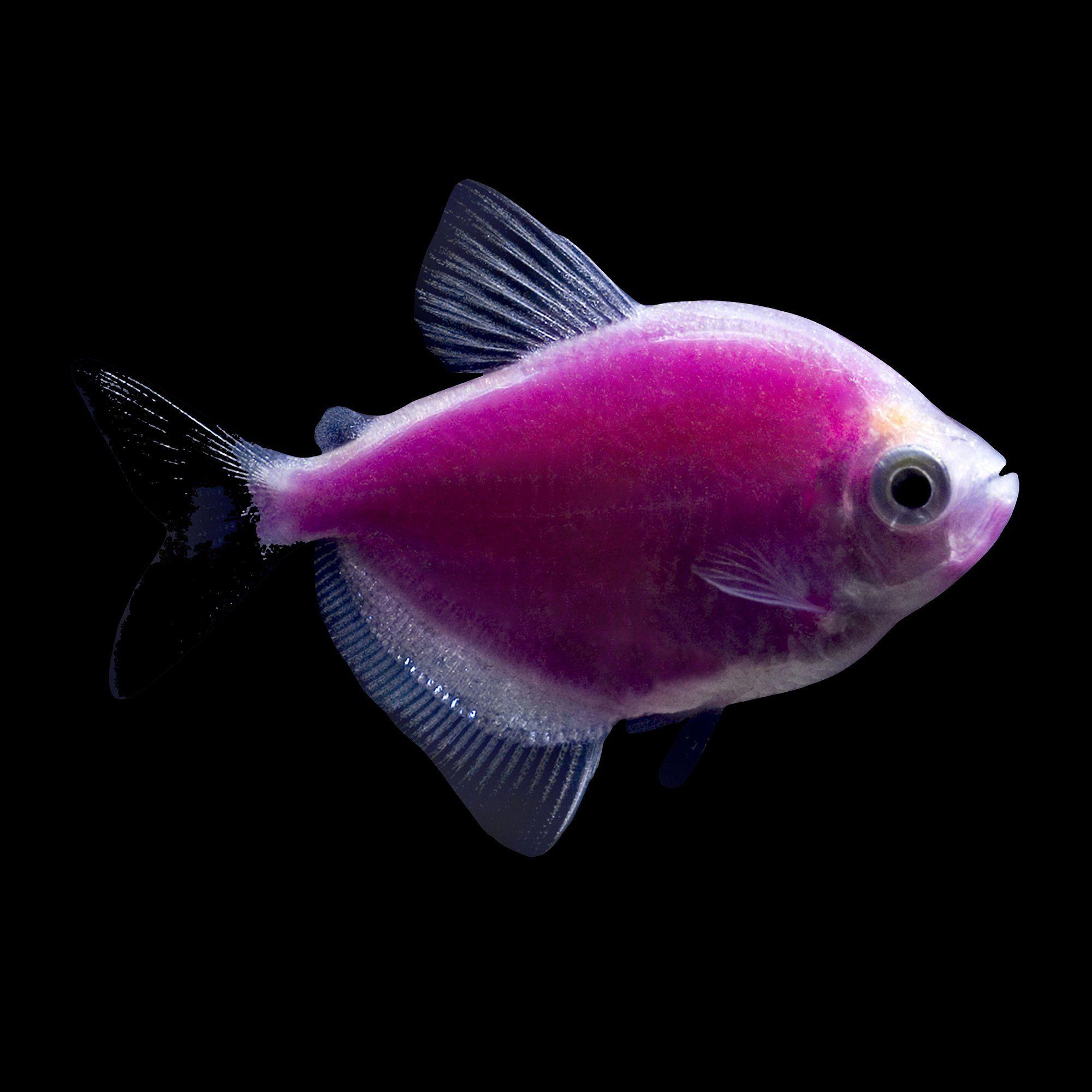 Glofish Galactic Purple Tetras For Sale Petco In 2020 Glofish Freshwater Aquarium Fish Pet Fish