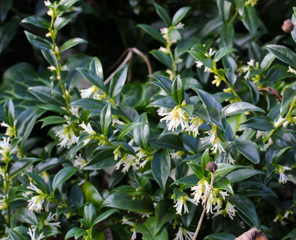 Sarcococca confusa plants pinterest evergreen shrubs shrub there are three of these evergreen shrubs in front of the viburnum on the right hand side they have gorgeous honey scented blossom in late winterearly mightylinksfo Image collections
