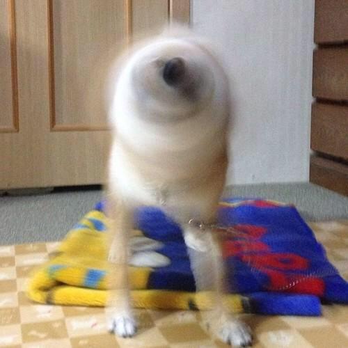 animal escape drill shibe drill my breed shiba inu pinterest animal dog and doggies