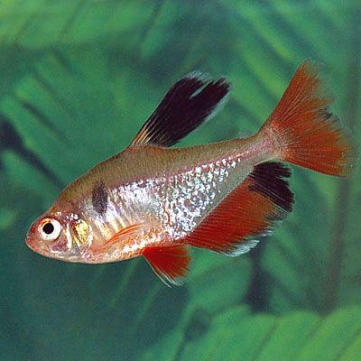 Longfin Serpae Tetra Hyphessobrycon Serpae Aquarium Fish Live Freshwater Fish Tetra Fish