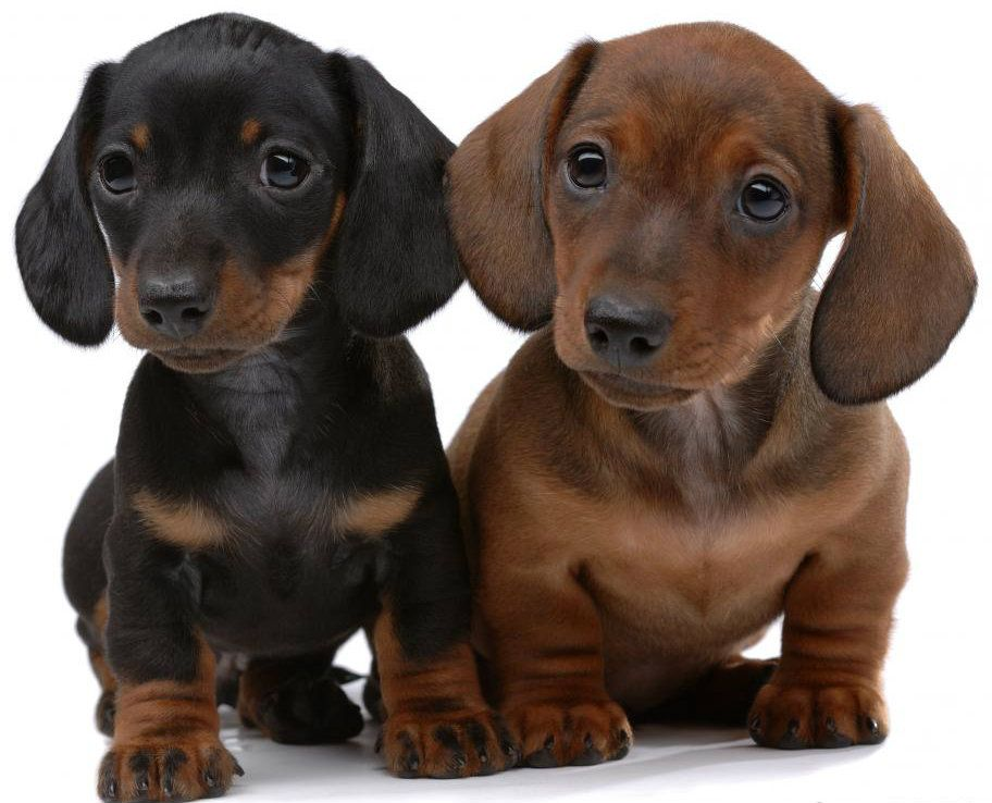 Doxie Double Trouble Dachshund Puppy Dachshund Puppies Doxie
