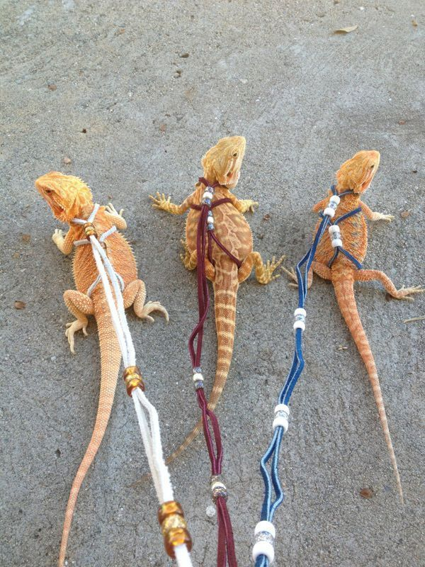 diy bearded dragon harness - Google Search #beardeddragonideas ...