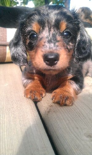 Adorable Longhaired Miniature Dachshund With Silver And Black