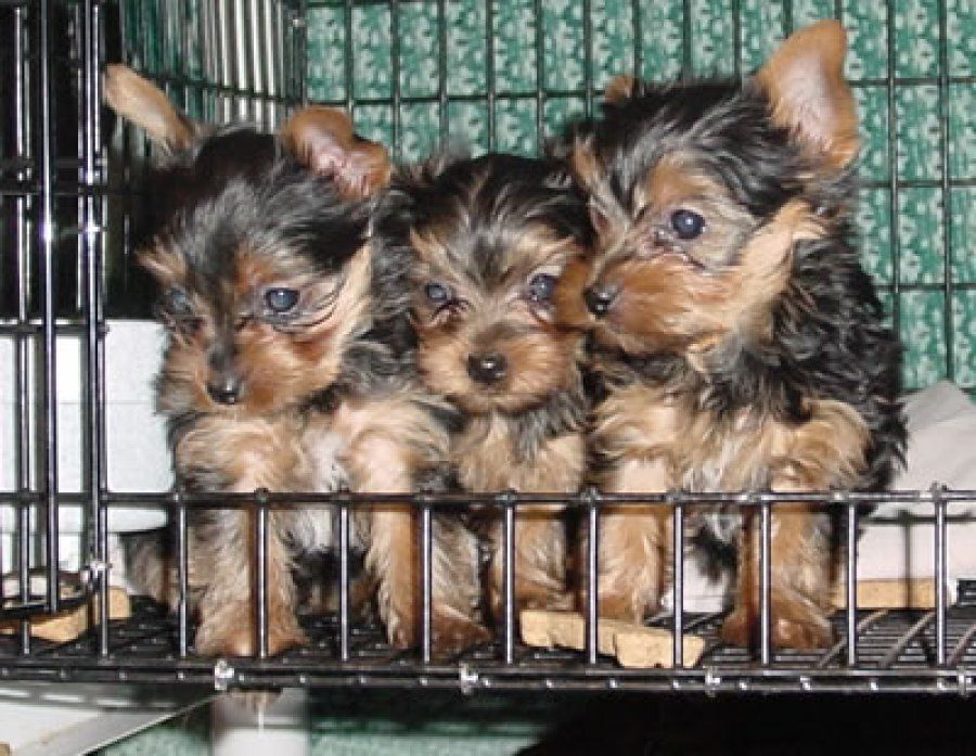 Ckc Male Yorkshire Terrier Pup Offer Louisiana Boston Pinterest
