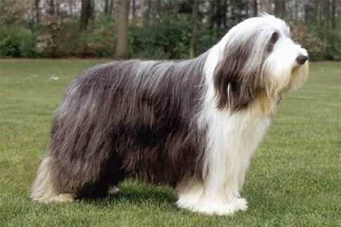 Bearded Collie Bearded Collie Collie Puppies