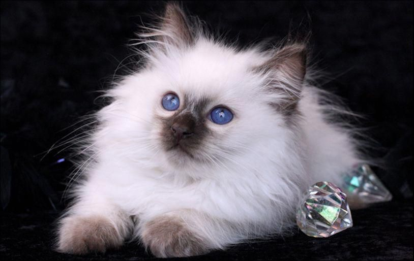 I Ll Help You Dad With Images Balinese Cat Siamese Cats Cutest Kittens Ever