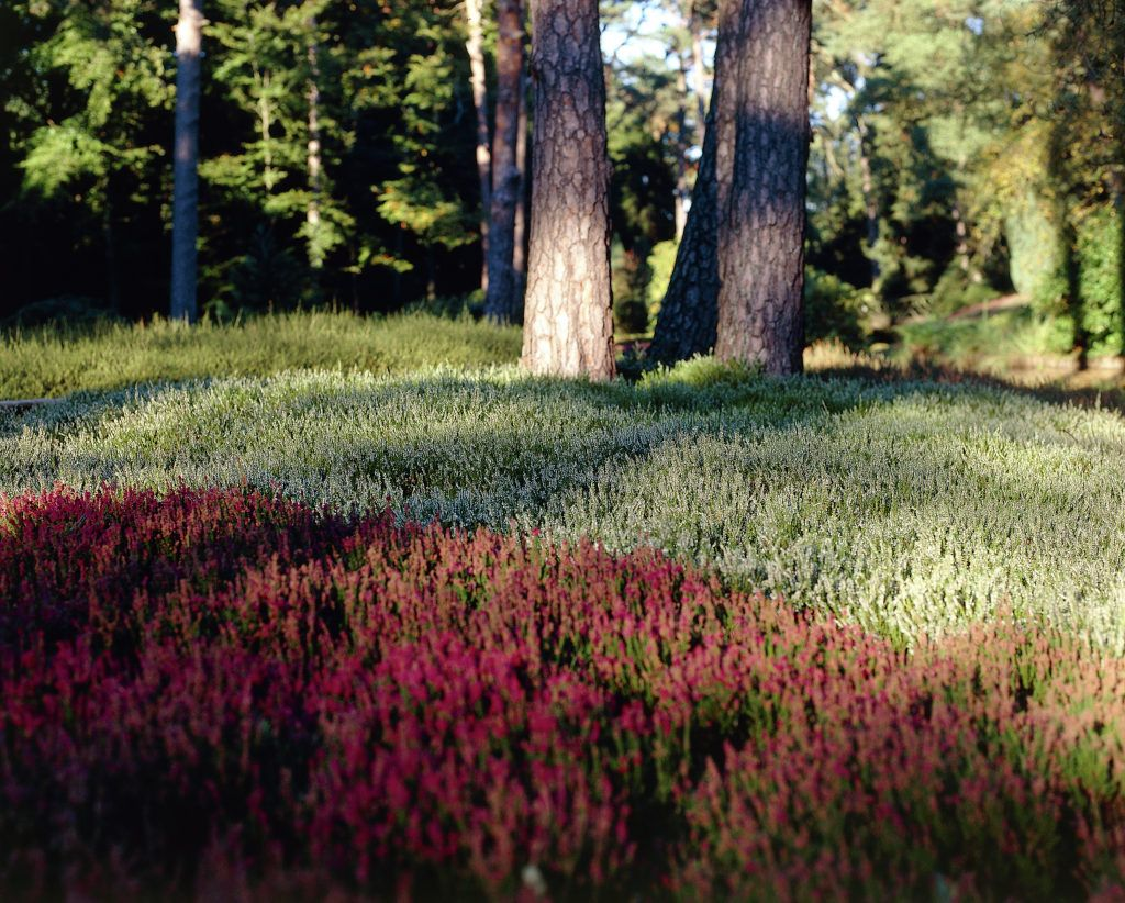 Besenheide • Calluna vulgaris • Heidekraut • Pflanzen & Blumen