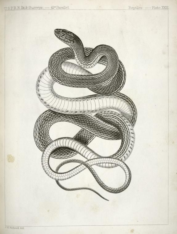 """""""Eutania vagrans, The Large -headed Striped Snake."""" From ..."""