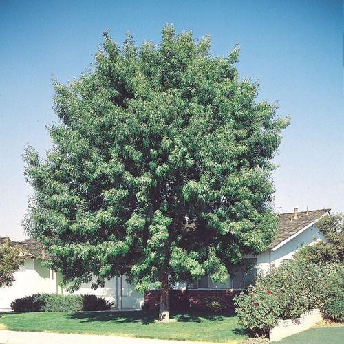 Fan Tex Ash Www Greenthingsaz Com Shade Trees Shade Shrubs Potted Trees