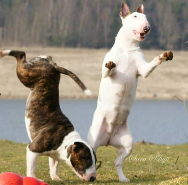 Watch Me Look At This Tumble Dogs Pets Brindlebullterriers