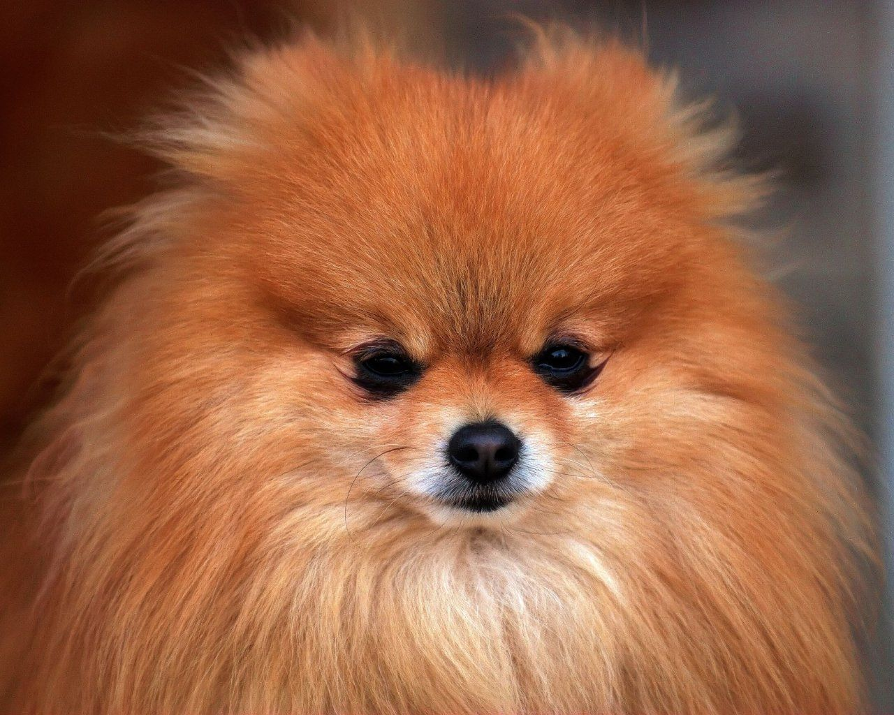 Pictures Of Small Dogs Pomeranian All Small Dogs Wallpaper