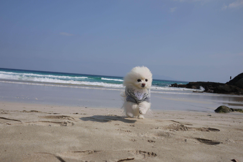 ルイくん 白浜海岸 大好きな砂浜で楽しそうに走る愛犬です シニアだけどいつまでも元気に一緒に旅行に行きたいです 砂浜 わんわん 海岸