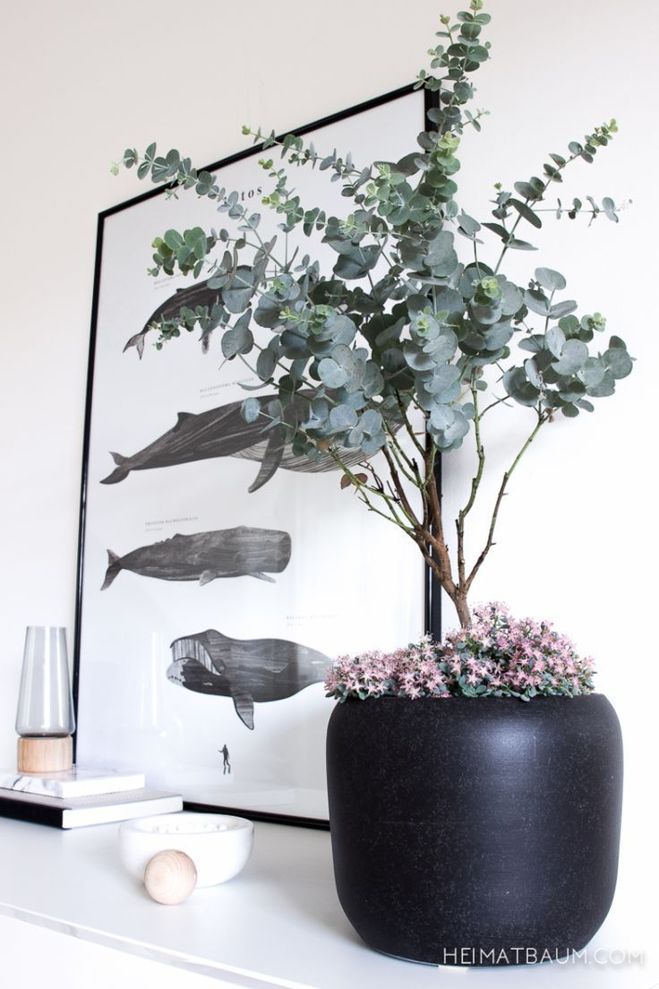 A plant in the living room Eucalyptus Eucalyptus