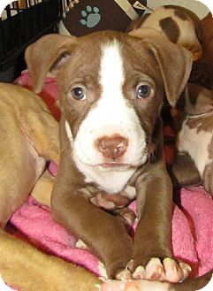 Adopt Lucy Pitbull Terrier American Pitbull Terrier Staffordshire Terrier Mix