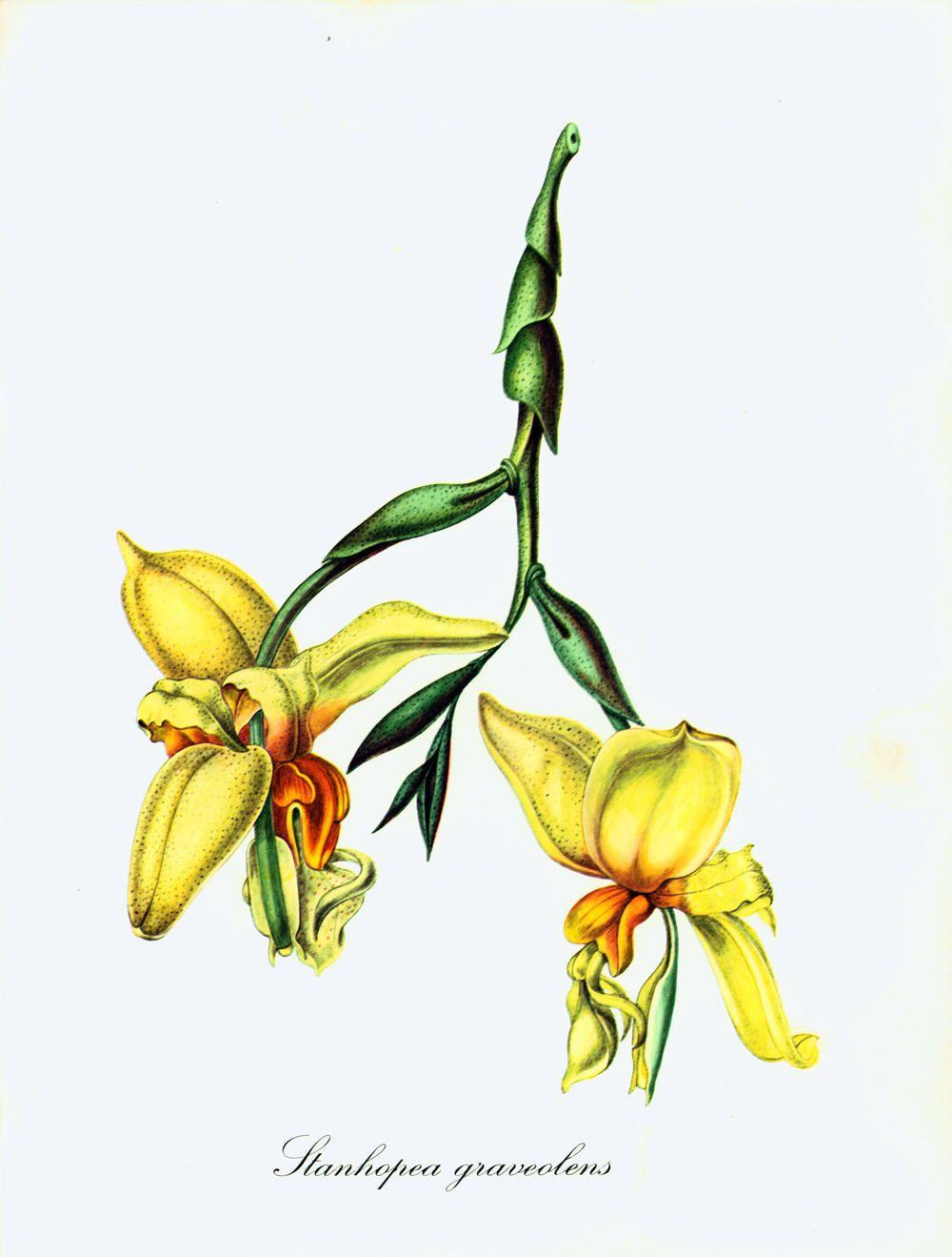 1967 fleur d 39 orchid e stanhopea planche botanique dessin plante tropicale decoration vintage de - Dessin d orchidee ...
