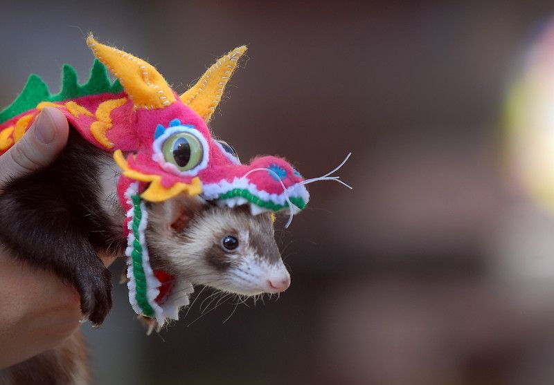 Chinese dragon costume for ferret, possibly Ferris's halloween costume :)