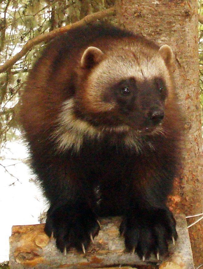 Keep wolverines protected, scientists urge Interior