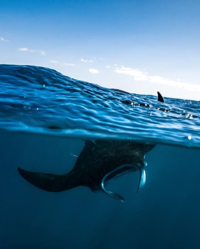 A manta ray pokes a fin through the water's surface off the French island of Mayotte, in the Indian Ocean. The mantas' size and fearsome-looking cephalic fins once earned the animals the name devilfish; however, we now know better: Scuba divers have...