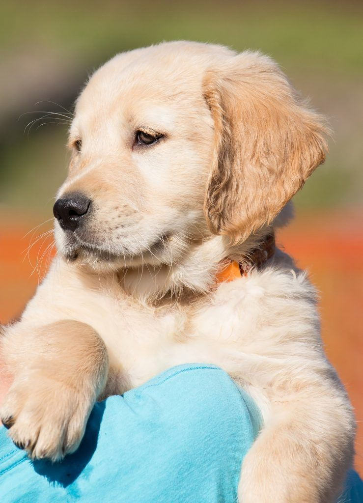 These Golden Retriever Puppies Are Ready To Make Your Day Dog