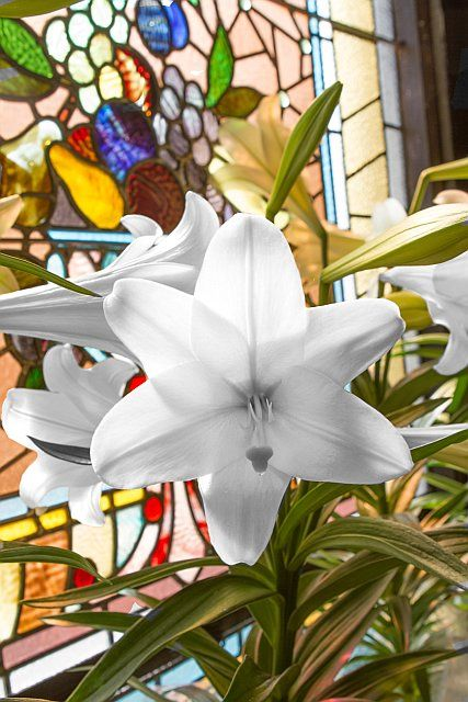 Easter Lilly Spring Coloring Pages Easter Lily Holiday Images
