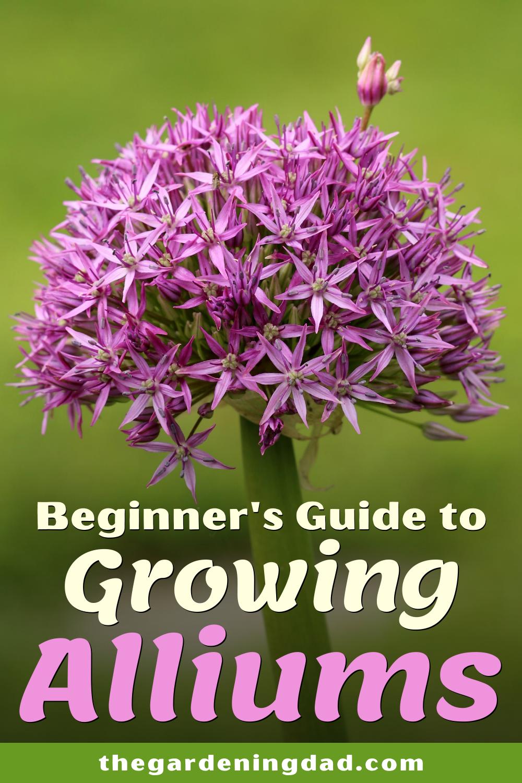 Beginner S Guide To Growing Alliums In 2020 Beginners Guide Growing Beginners