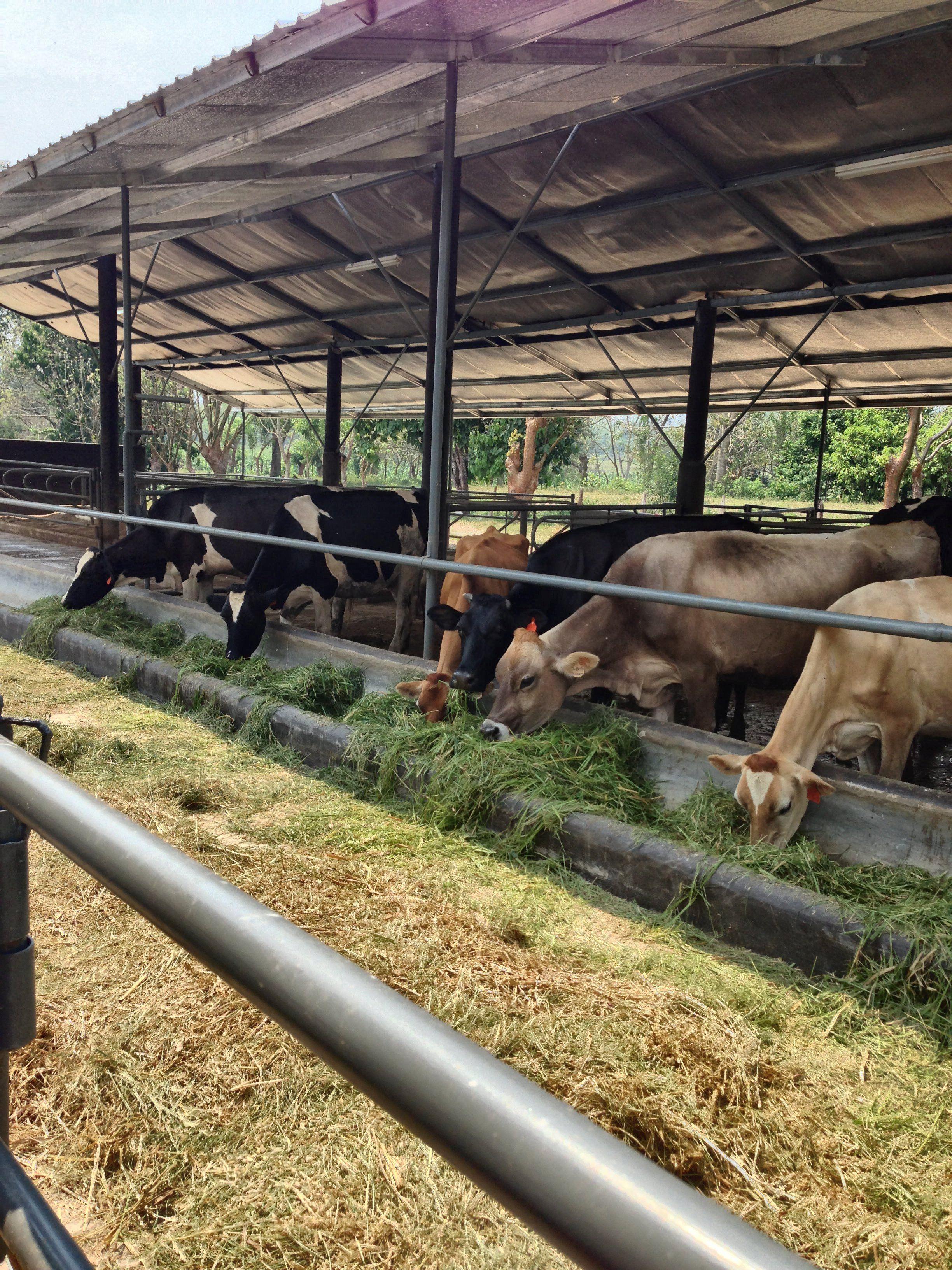 Pin En Vacas De Leche