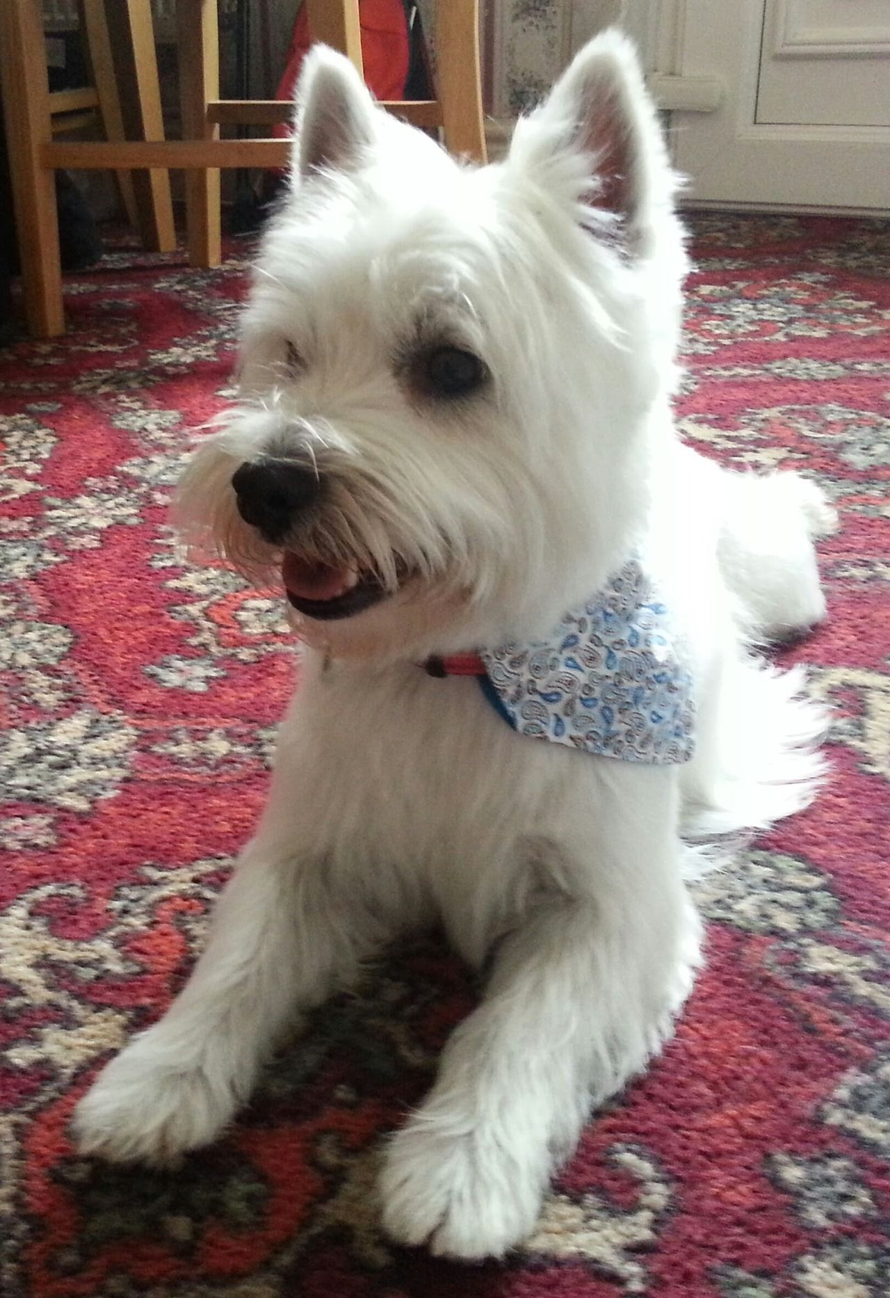 Submission from archie westieus pinterest archie westies and