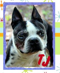 TJ is an adoptable Boston Terrier Dog in North Augusta, SC ...
