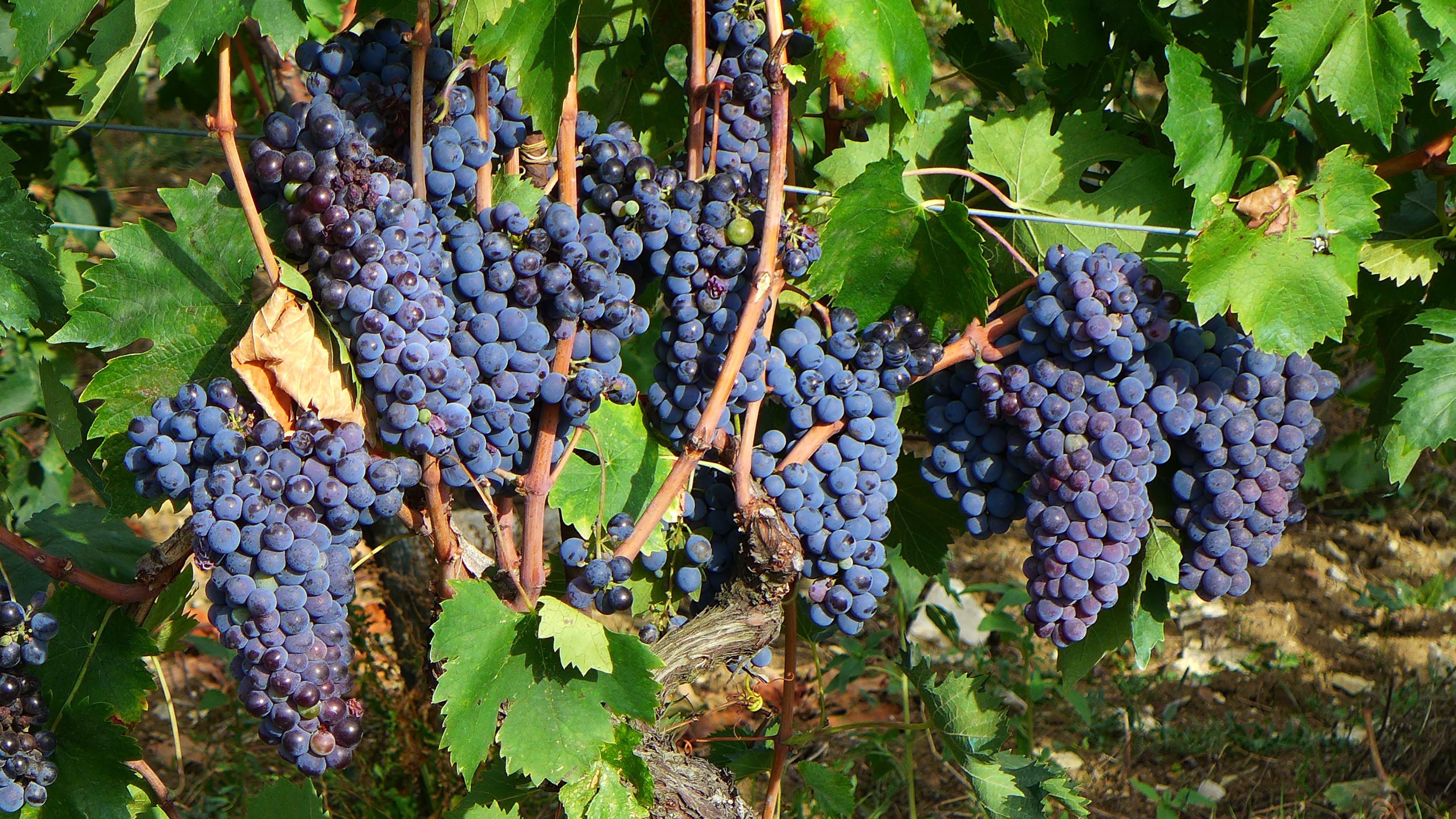 San Giovese grapes .... for Chianti Classico ... to drink at Villa le Barone