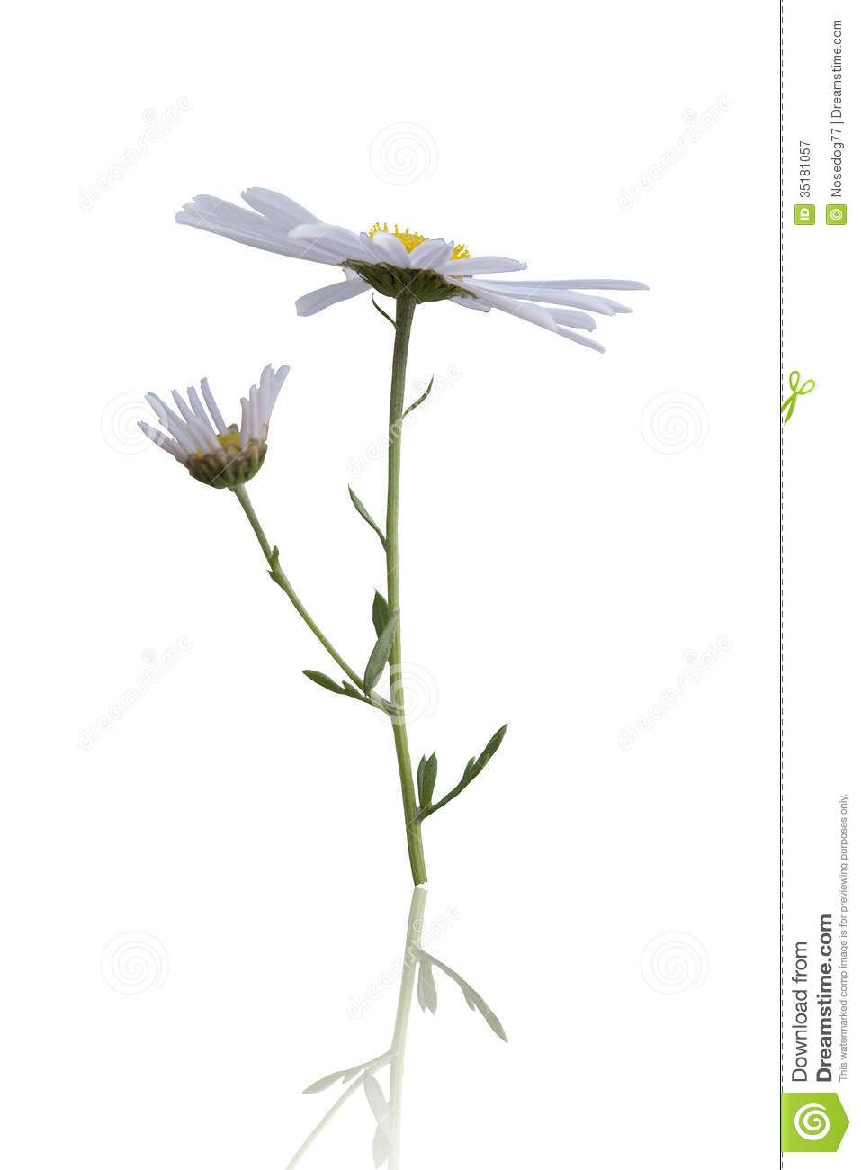 wild flower white background - photo #18