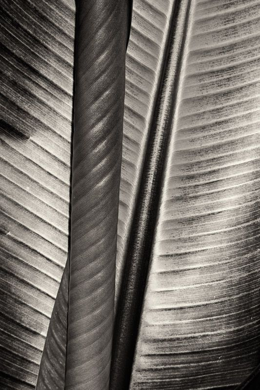 Cara Weston  -  Two Leaves, 2013