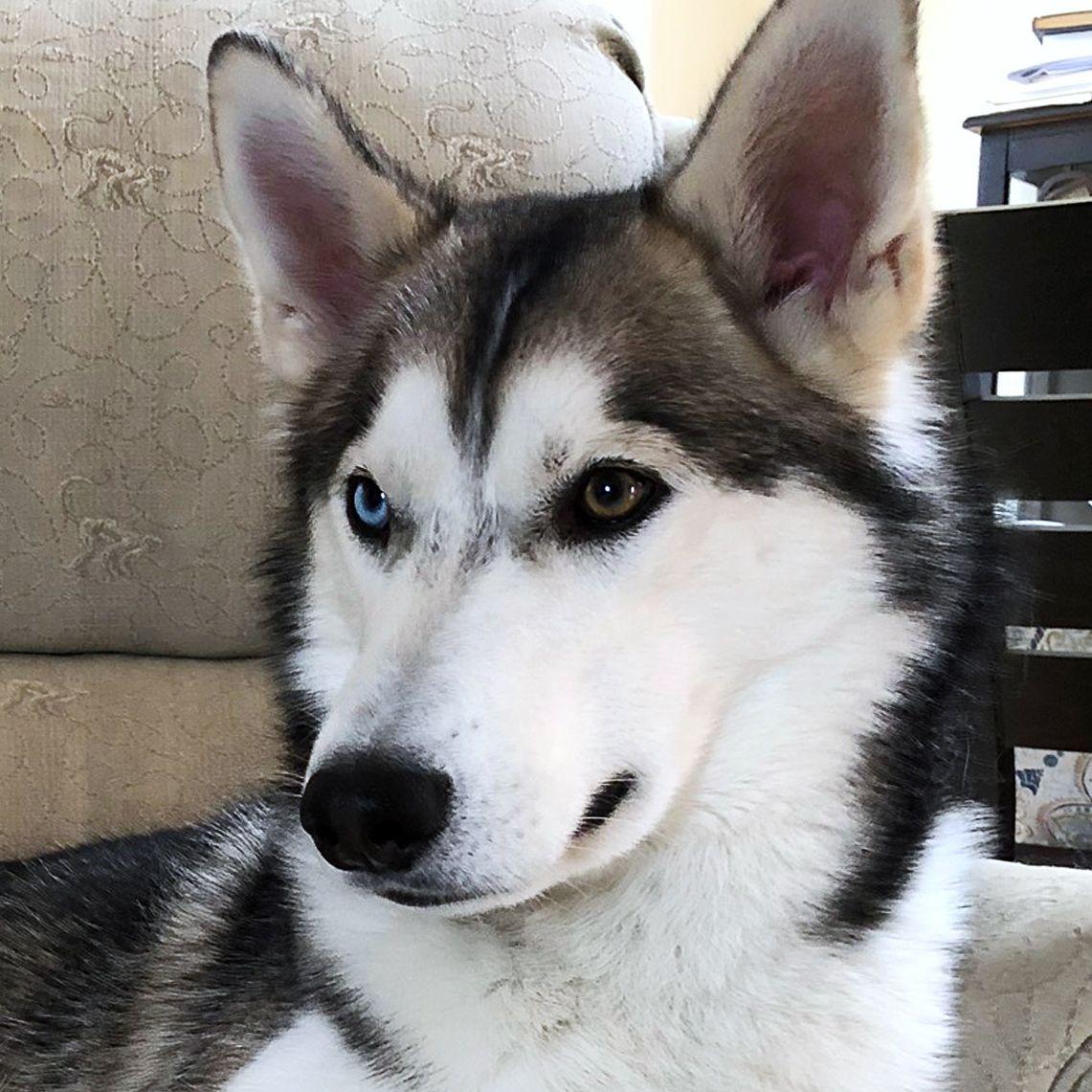 Loki The Husky Puppy In 2020 Husky Husky Puppy Puppies
