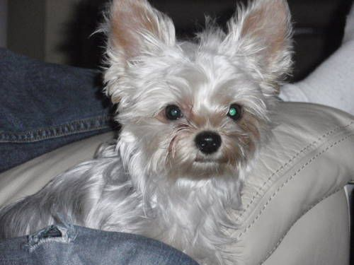 Adorable Intelligent Beautiful Silkie Yorkie Poo Female 2 Years Old Yorkie Poo Yorkie Dogs And Puppies