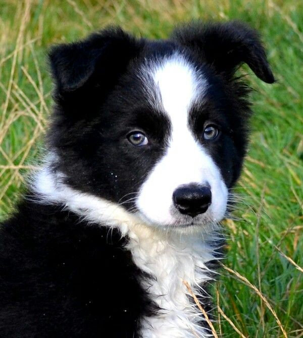 Pin By Amber On Pooches Collie Puppies Border Collie Puppies