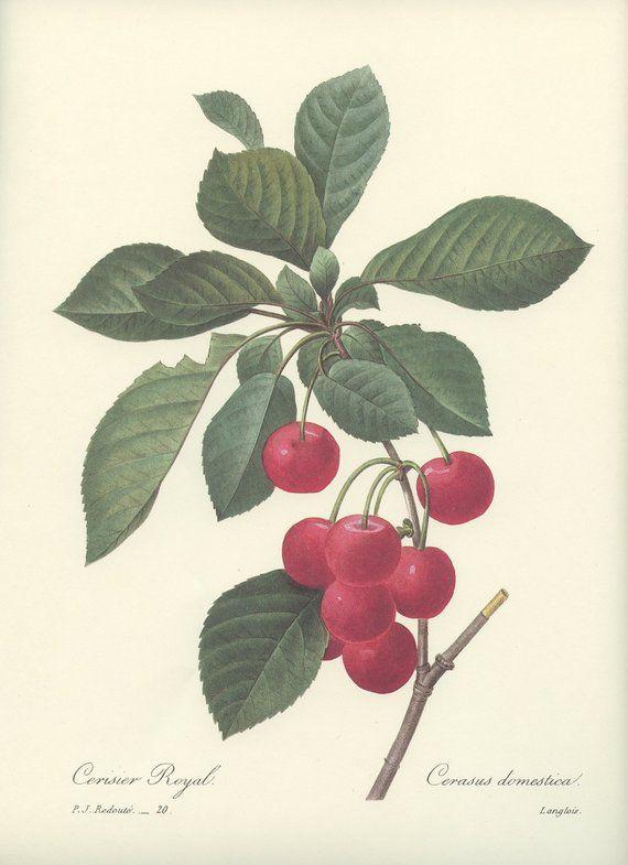 ROyal cherry tree Redouté botanical print. 1986 Vi