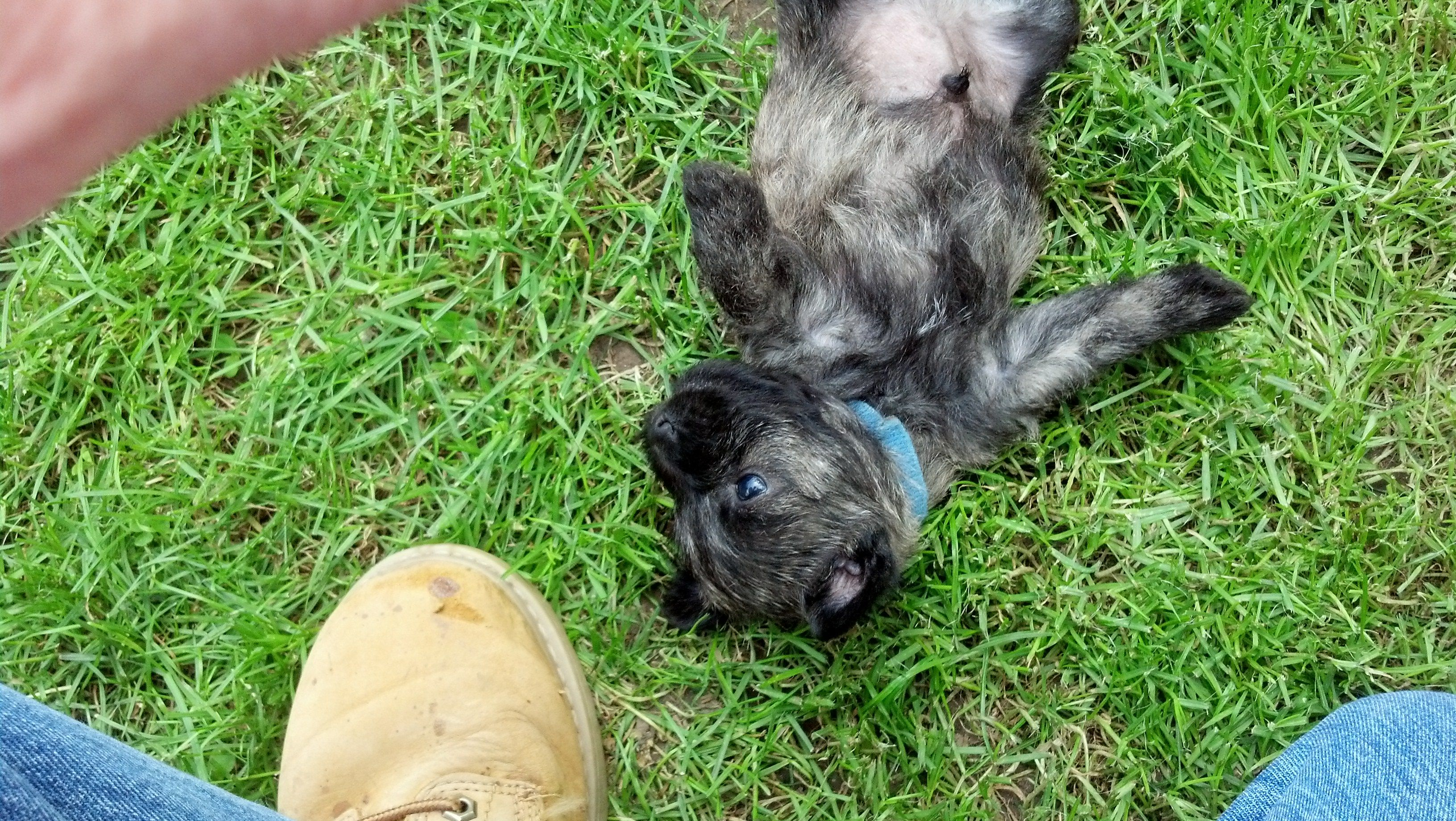 Baby cairn terrier, Arthur, at 4 1/2 weeks old.