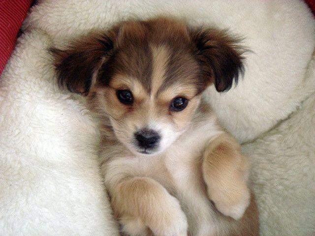 Yorkie Chihuahua Pomeranian Shih Tzu Puppy Cute Animals Cute Baby Animals Baby Animals