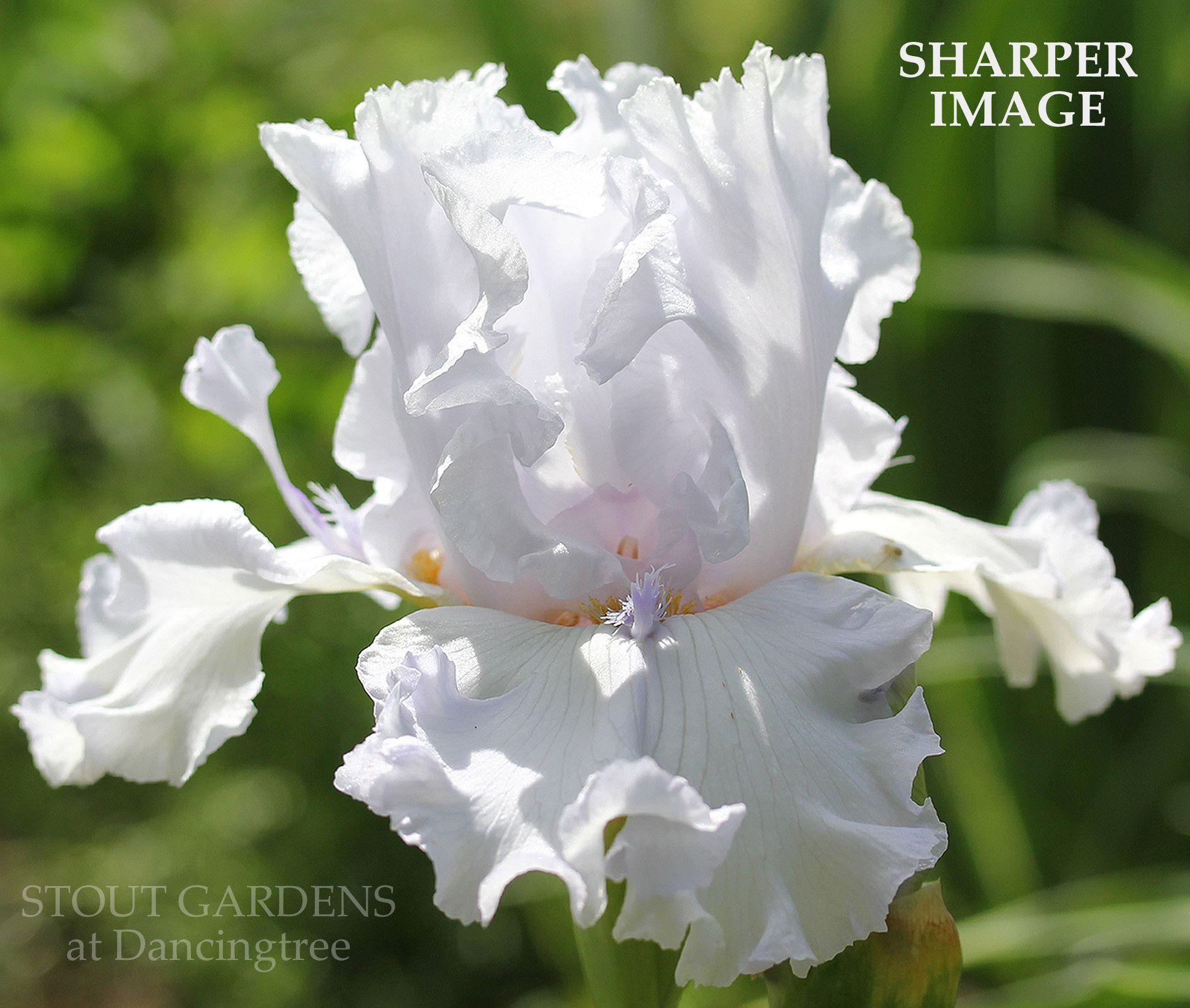 Iris Sharper Image Iris Pinterest Gold Shorts Iris And Flowers