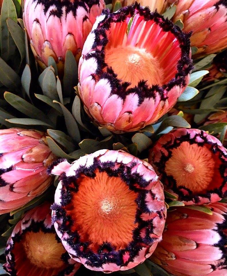 Neriifolia Protea Pink Mink Flower Lover Tropical Africa Creative Colour