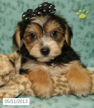 Sweet Yorkiepoo Yorkiepoo Puppy For Sale In Bradford Pa