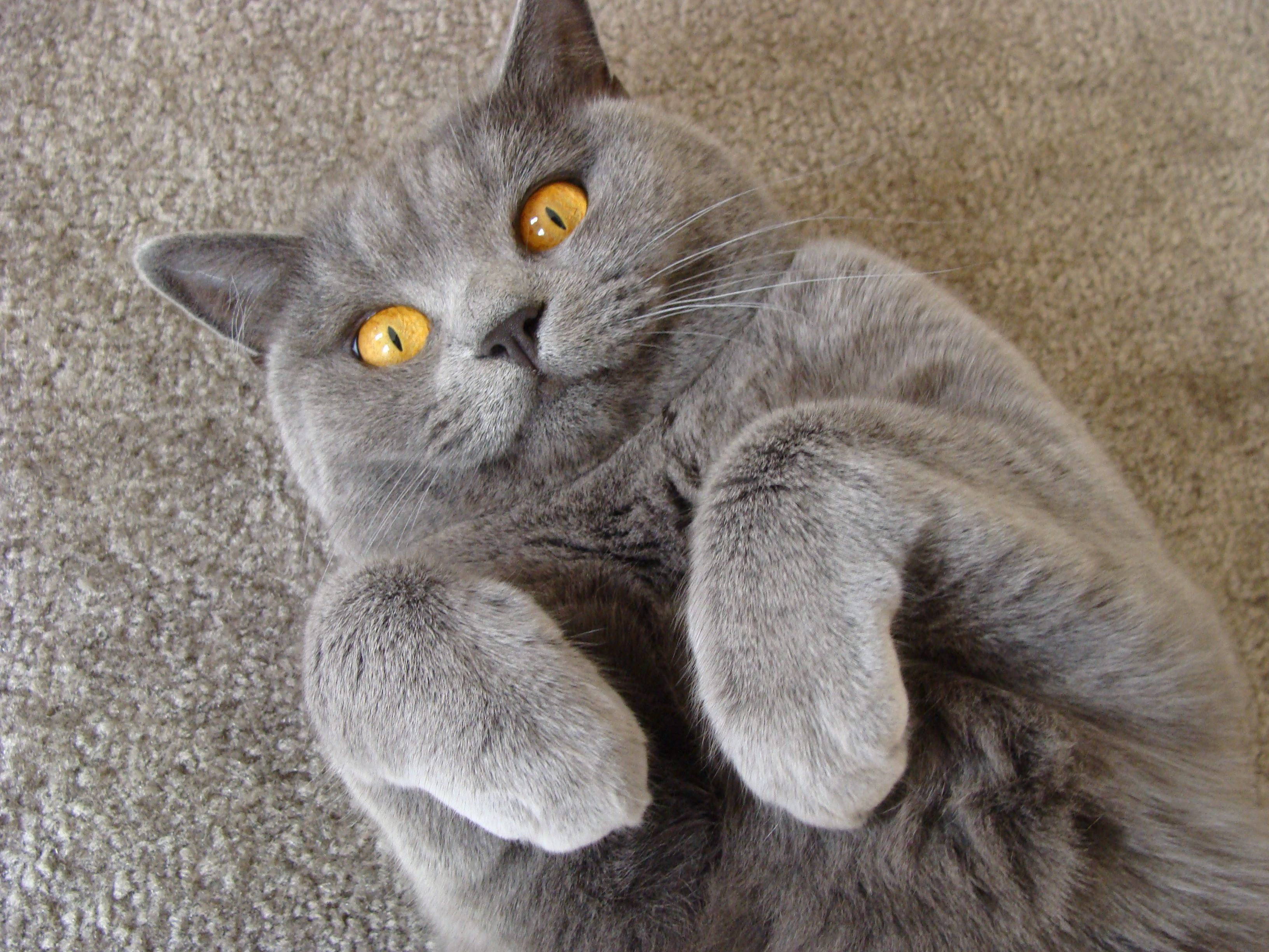 Sista say what?! British shorthair and Cat