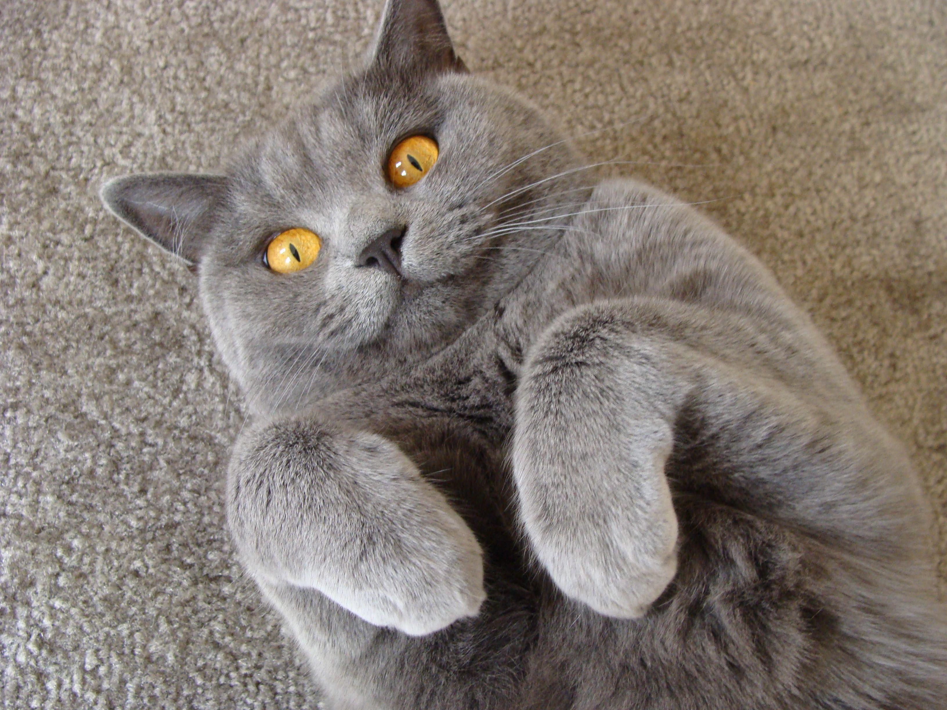 Sista say what?! British shorthair, British blue cat