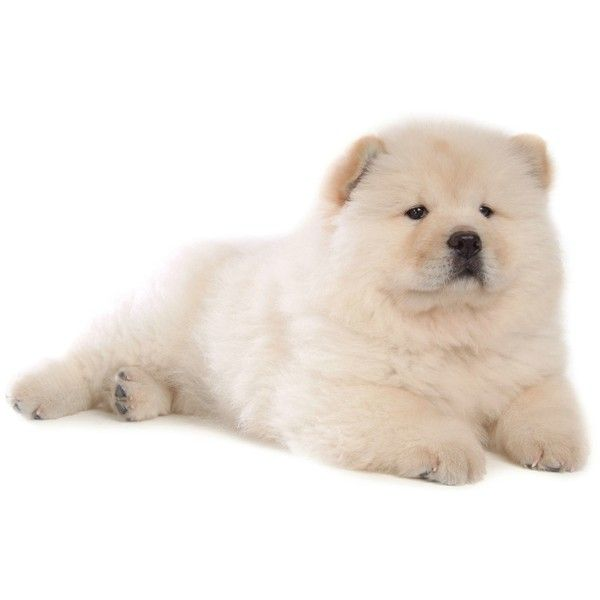 Free Chow Chow Puppy Wallpaper Download The Free Chow Chow Puppy