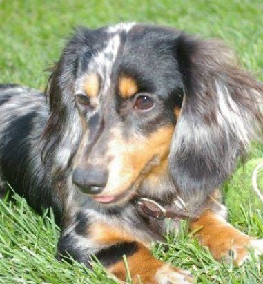 Long Haired Black And Tan Dapple Dachshund Seriously Can I Have
