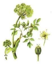 Planta de Angélica