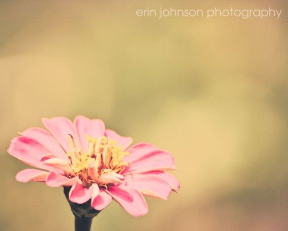Shoply.com -Faded Zinnia Fine Art Photography Print 8 x 10. Only $20.00