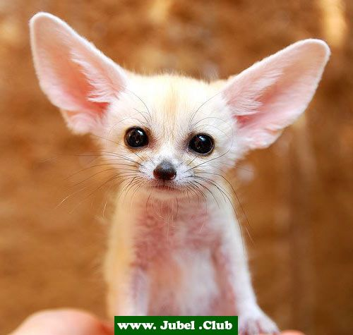Fennec hare hoax - photo#41