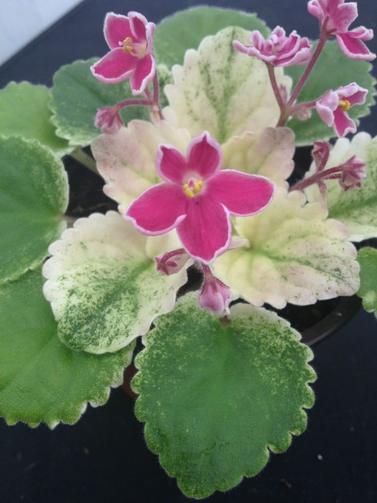 African Violet  Mac's Scorching Sun